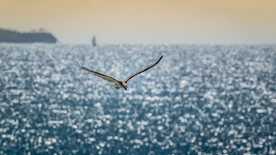 Osprey flying over sea during sunset