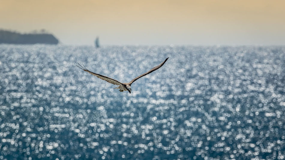 Osprey over the ocean Bird Blue Water Blue Sky Blue Waters Close-up Day Hovering Birds Landscape Nature Ocean View Osprey  Outdoors Raptor Sky Sparkling Sparkling Water Spread Wings Vignette Weather