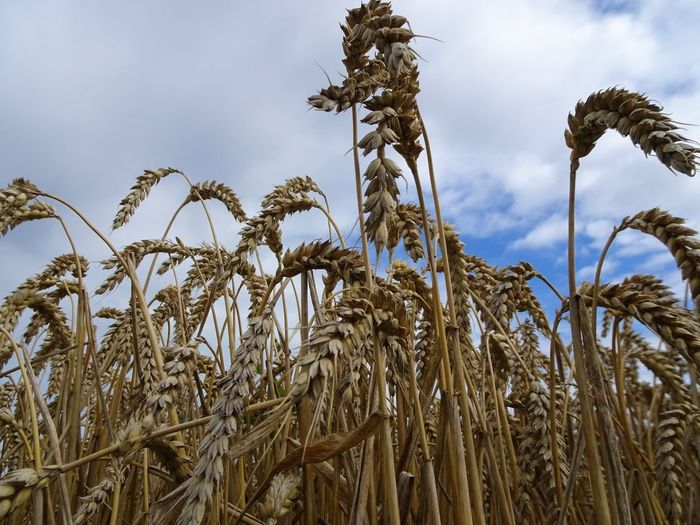 Wheatfield Crop