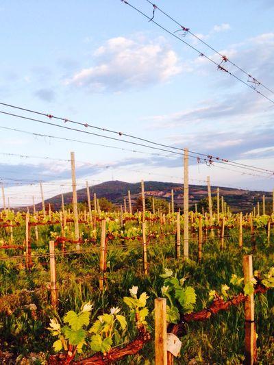 Vineyard Tokaj Wine Region Tarcal Terézia Green Green Green!  Vitality Shootshootshoot Look Out! First Eyeem Photo Paralell