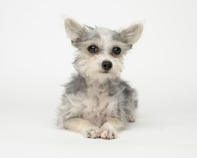 Animal Animal Themes Canine Chihuahua - Dog Cut Out Cute Dog Domestic Domestic Animals Indoors  Looking At Camera Mammal No People One Animal Pets Portrait Sitting Small Studio Shot White Background Young Animal