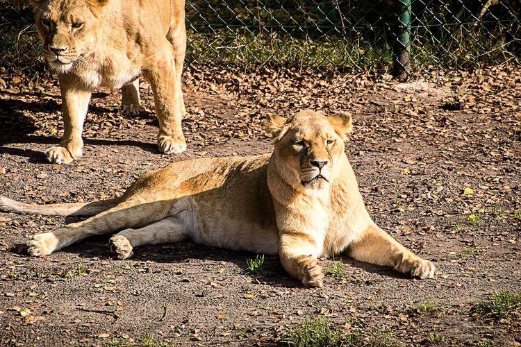 Serengeti-Park, Hodenhagen LVC Lion Taking Photos