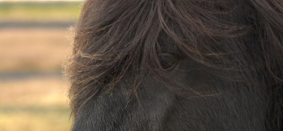 One Animal Mammal Close-up Hair Headshot Animal Body Part Vertebrate Animal Hair Hairstyle Icelandic Horse Animal Eye Animal Part