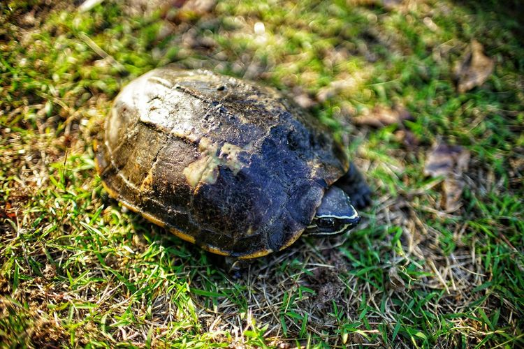 Fear Shield Amphibian Slow Life Reptiles No People No Person Day Animal Turtle No People No Person Day Close-up Grass