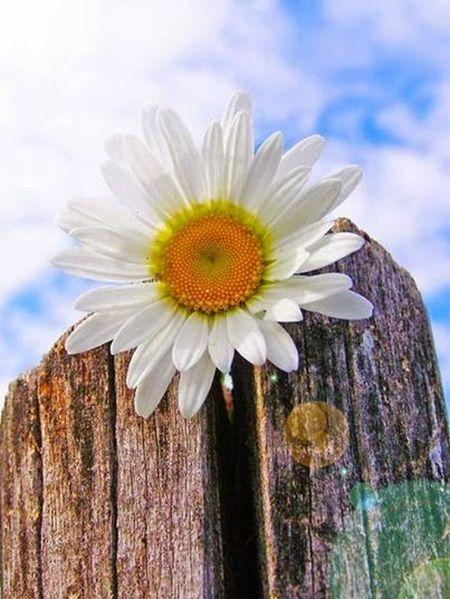 La semplicita'di una margherita bianca......