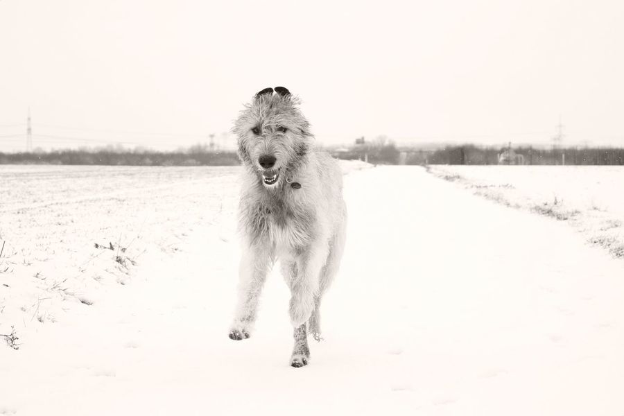 Blackandwhite Monochrome Winter Dog Animal Wildlife Snow Cold Temperature Outdoors The Places I've Been Today How Is The Weather Today? January 2017 Winter 2017 It Is Cold Outside White Color Cearnaigh Weather Winter Irish Wolfhound Dogs Of EyeEm Dog Of The Day Dogslife Dogs Of Winter Dogwalk From My Point Of View Low Section