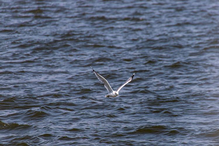Seagull in