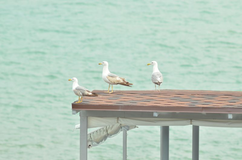 Bird Perching Water Sea Full Length Togetherness Close-up Young Bird Seagull Baby Chicken Sea Bird Stork Animal Nest Spread Wings