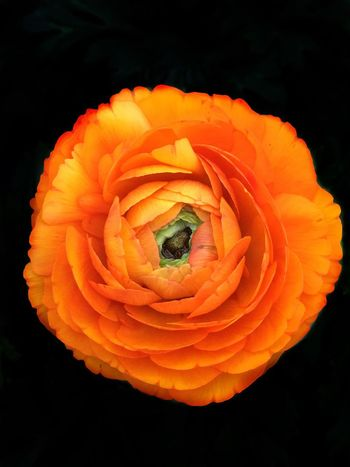 Flower Beauty In Nature Freshness Flower Head Petal Orange Color No People Black Background Nature Close-up Fragility Day