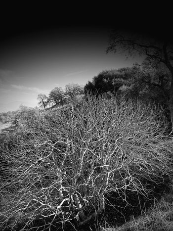 """""""Bare Till Spring"""" An expansively branched tree sits in an arroyo, its stark limbs lit by the afternoon sun, relegated to a bare existence until Spring issues a reviving renewal. Blackandwhite Photography Blackandwhite Black And White Bare Branches Bare Tree Sky No People Nature Low Angle View Outdoors Day Tree Vignette"""