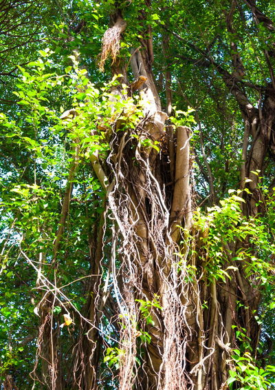 Banyan tree Banyan Tree Banyan Tree Roots Beauty In Nature Branch Day Forest Freshness Green Color Growth Leaf Leaves Low Angle View Nature No People Outdoors Plant Tree Tree Tree Trunk
