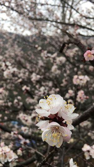 Spring. Flower Head Pink Color Springtime Focus On Foreground Pollen Plum Blossom Stamen Botany Freshness