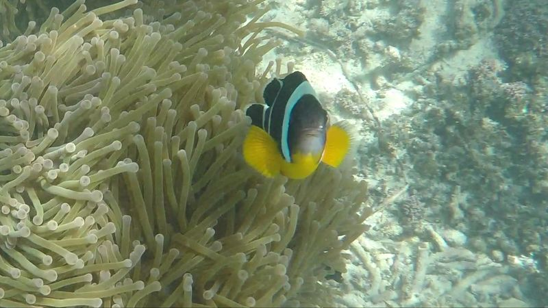 Fish Nemo Underwater Sea Life One Animal Anemone Flower Mauritius Clown Fish Sea Anemone UnderSea Nemo :) île Maurice  Plongée Snorkeling