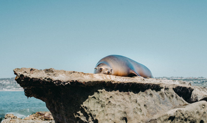 Summer Exploratorium Animal Animal Themes Animal Wildlife Animals In The Wild Beach Clear Sky Copy Space Day Marine Nature No People One Animal Outdoors Rock Rock - Object Sea Seal Seal - Animal Sky Solid Underwater Water