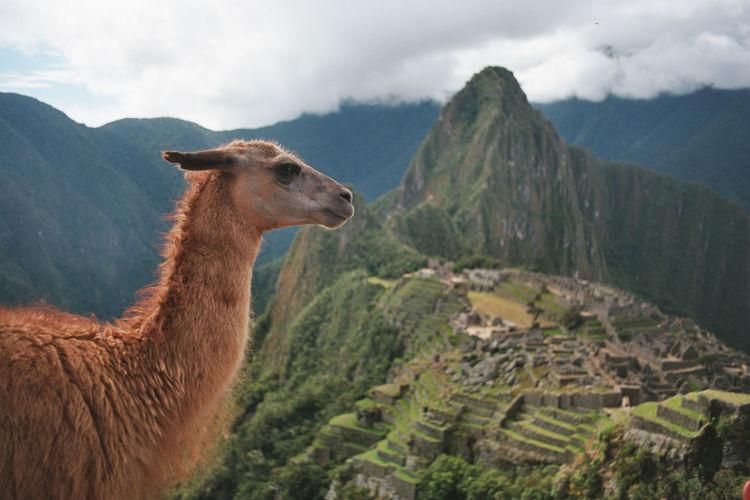 Llama against machu picchu