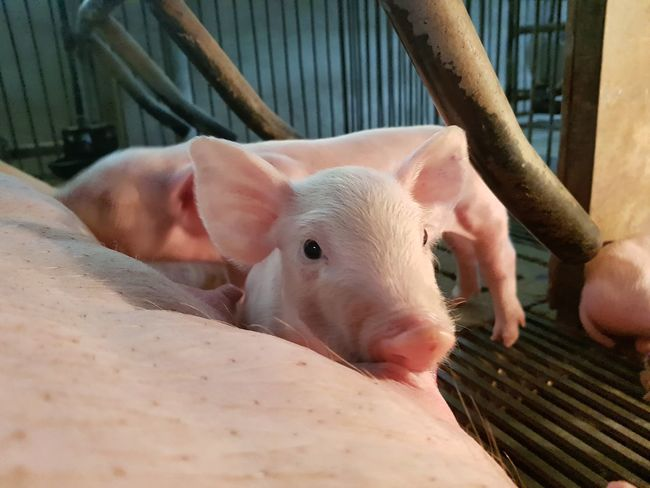 Cute piglets 🐽 PigEyeEm Selects Piglet Animal Livestock Mammal Animal Themes Agriculture Outdoors Young Animal Domestic Animals Portrait Day Pork No People Close-up Galaxys8 Agriculture Piglet, Snout, Caged Animal, Pig, Farm Animals, Curious, Rural, Domestic Animal, Siblings Livestock Farm Swine Food