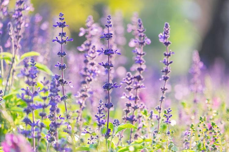 Close-up of lavender