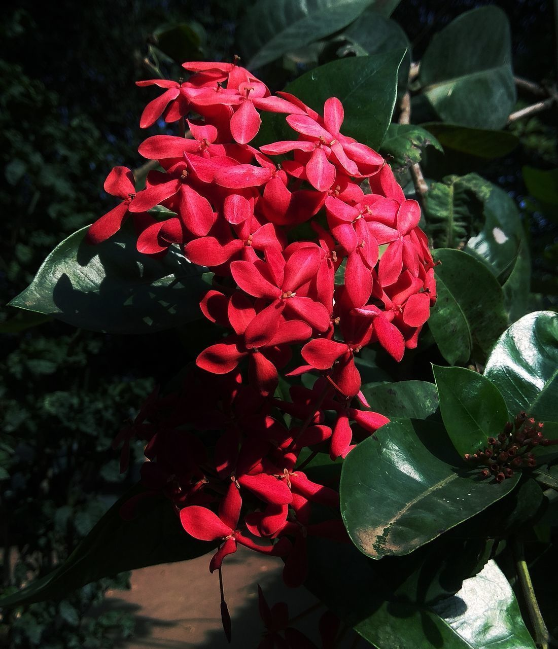 CLOSE-UP OF RED ROSE PLANT