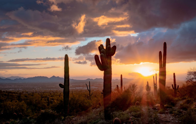 Saguaro cactus growing on field against sky during sunset