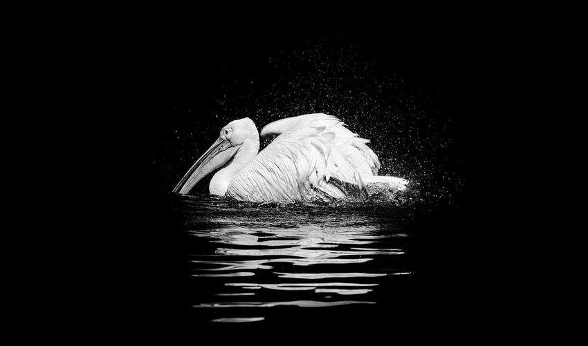 Swan in water against black background