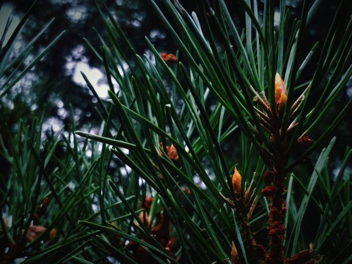Tree Water Branch Leaf Flower Pine Tree Pinaceae Close-up Plant Green Color