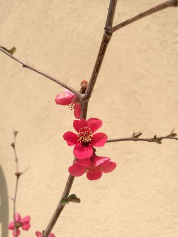 Millennial Pink Plant Flower Nature Beauty In Nature Flower Head Freshness Pink Chaenomeles Chaenomeles Japonica
