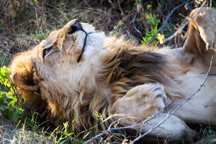 Close-Up Of Lion Lying On Field