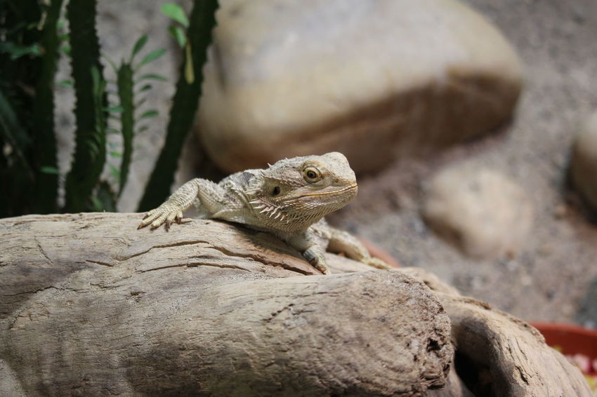 Animal Themes Animal Wildlife Animals In The Wild Bearded Dragon Close-up Day Iguana Lizard Nature No People One Animal Outdoors Reptile Rock - Object