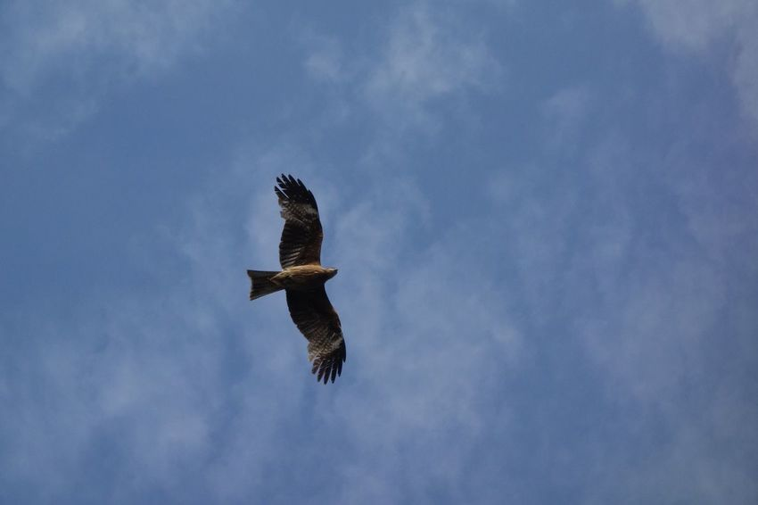 bird flying bird Sky Kite
