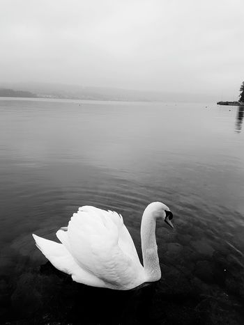 Lake Swan Zürich Zürichsee Lake Of Zurich Black Blackandwhite Black And White Water Nature Beauty In Nature Swan Outdoors Swimming