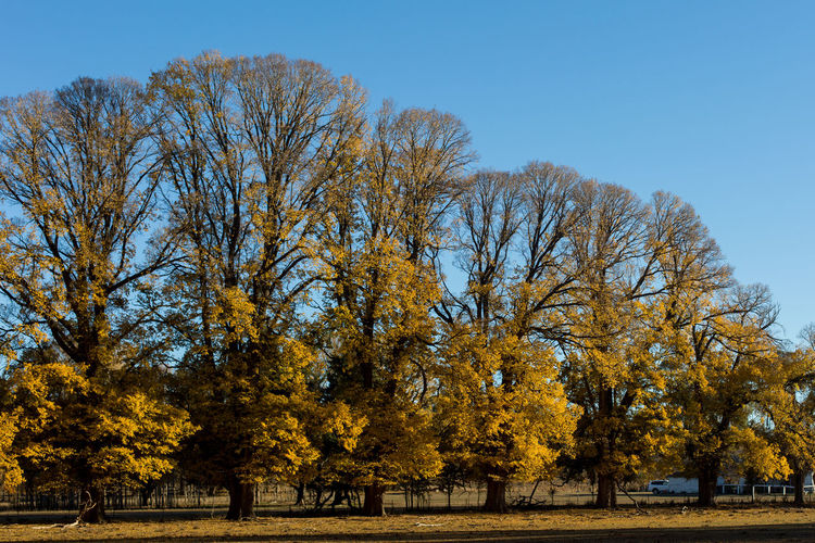 Tree Autumn Plant Change Sky Beauty In Nature Nature Tranquility Tranquil Scene Scenics - Nature Clear Sky Day Growth No People Yellow Branch Park Park - Man Made Space Outdoors Leaf Fall Autumn Collection