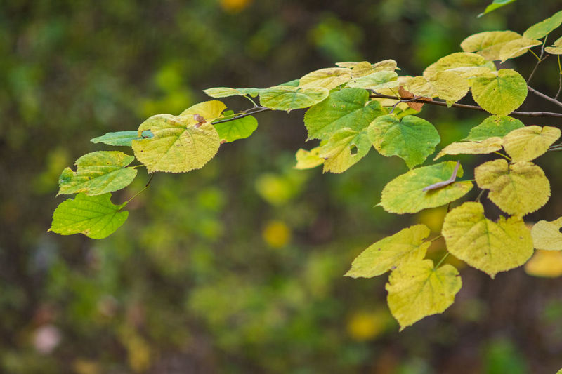 Close-up of yellow leaves on tree