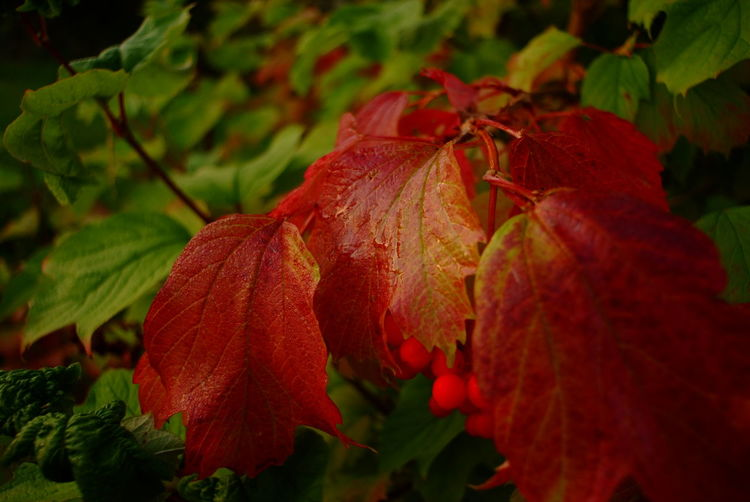 Herbst // autumn // fall. Photograph © 2016 Kay-Christian Heine Autumn Autumn Colors Beauty In Nature Botany Change Close-up Color Contrast Colour Contrast Daybreak Fall Focus On Foreground Foliage Fragility Green Color Growth Leaf Leaves Nature Outdoors Plant Red Season  Selective Focus Tranquility Vibrant Color