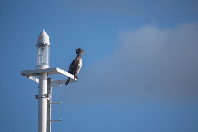 Low angle view of seagull perching on metal against sky