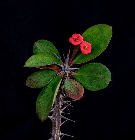 Crown of Thorns Black Background Crown Of Thorns Euphorbia Euphorbia Splendens The Week On EyeEm Beauty In Nature Black Backdrop Close-up Flower Flower Head Fragility Freshness Green Color Growth Leaf Nature No People Plant Red Flower Thorns Thorns And Beauty Perspectives On Nature A New Beginning