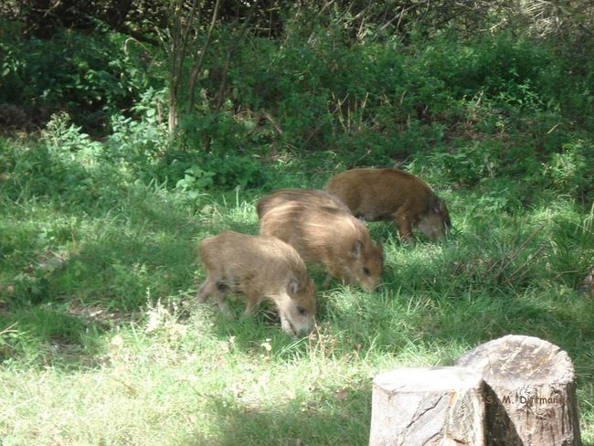 Frischlinge Wildschweine Animal Family Animal Themes Animal Wildlife Animals In The Wild Grass Group Of Animals Mammal Nature No People Outdoors Peenemünde Wild Boars