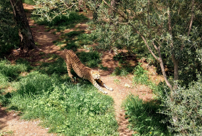 Animal Animal Themes Cheetah Guepard Lazy Lazy Cheetah Lazy Day Nature One Animal Sigeanreserveafricaine
