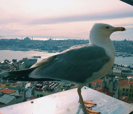 Jonathan Livingston iyi geceler diler. // Jonathan Livingston wishes good nights to all. 🐦🌠 . . Anlatistanbul Isiklayazmak Vscokadraj Istanbulpage Istanbul Istanbullovers Istanbullife Istanbuldayasam Vscoblogger Istanbul_hdr Istimebul Ig_istanbulcity Istanbulda1yer Sehir_istanbul Istanbulfk Istanbuldabirgun Istanbulinsani Gencgezginler Ig_istanbul Oneistanbul Istanbul_hdr Cokgezenlerklubu Vscokadraj Ig_fotograf Galata fotografkitabı gezitutkusu Loves_Cultures