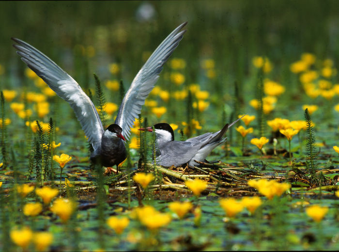 Terns Amidst Algae And Yellow Flowers On Pond