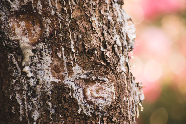 conifer resin on a tree bark Bark Close-up Colors Of Nature Conifer Resin Coniferous Tree Day Focus On Foreground Nature No People Outdoors Resin Rough Sunlight Textured  Tree Tree Ring Tree Stump Tree Trunk Wood - Material