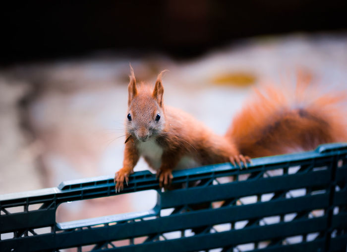 Close-Up Of Red Squirrel