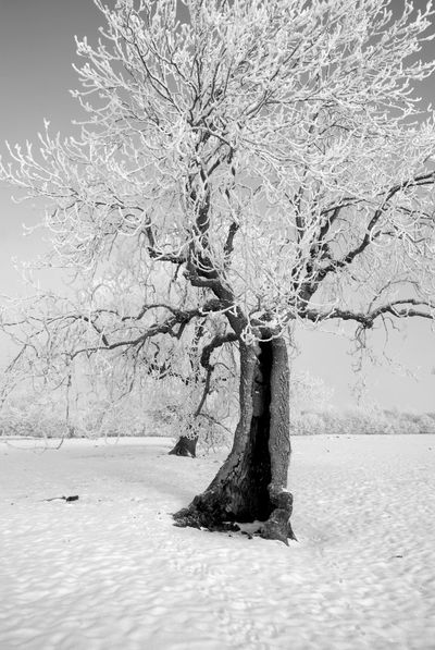 Lightening Tree Bare Tree Cold Temperature Lightening Nature No People Outdoors Snow Tree Tree Trunk Winter