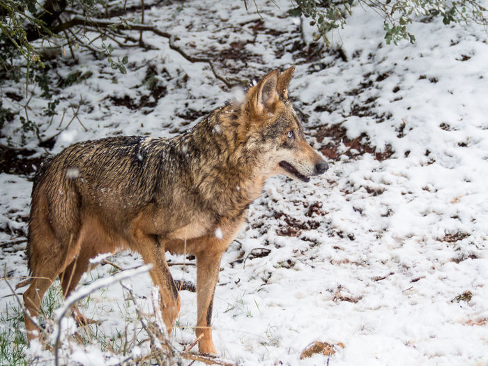 Adult male iberian wolf (Canis lupus signatus) in the snow in the forest in winter Adult Animal Canis Lupus Carnivorous Eyes Forest Habitat Iberian Male Mammal Nature Portugal Predators Season  Signatus Snow SPAIN Spain♥ Timber Wild Wilderness Wildlife Winter Wolf