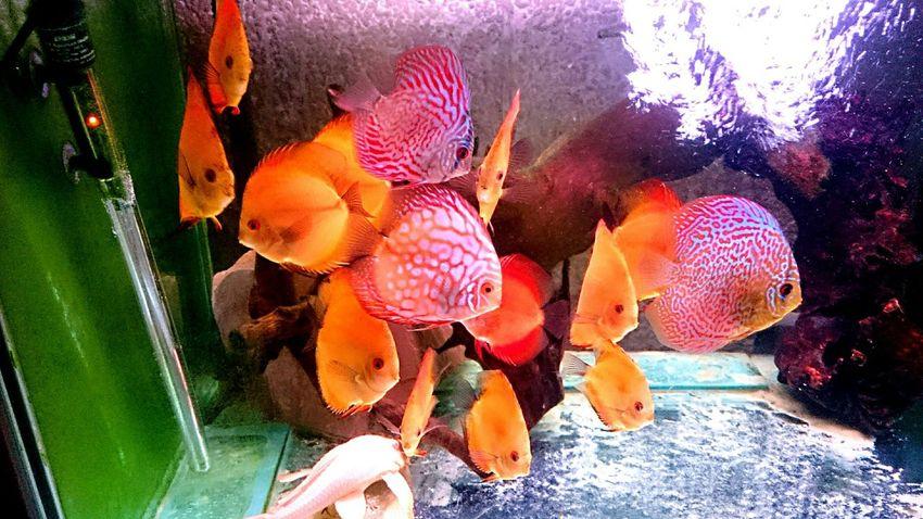 Discus Discus Fish Discusfish Aquarium Aquaria Tropical Fish