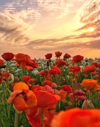 Close-up of red tulips on field against sky during sunset