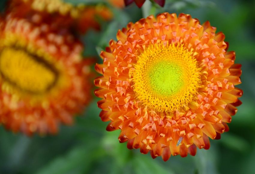 Close-up Flower Orange Color Beauty In Nature Freshness Straw Flower Top View Flower Head Flower Collection Orange Flower Pollen High Angle View