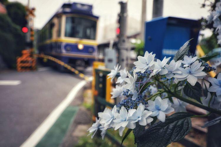 전차와 수국이 있는 풍경 1 . . #하루한컷 #수국 #전차 #가마쿠라 #하세역주변 #일본 #5DMARK4 #새아빠백통 #EF70200F28LIIISUSM Flower City Snow Winter Close-up
