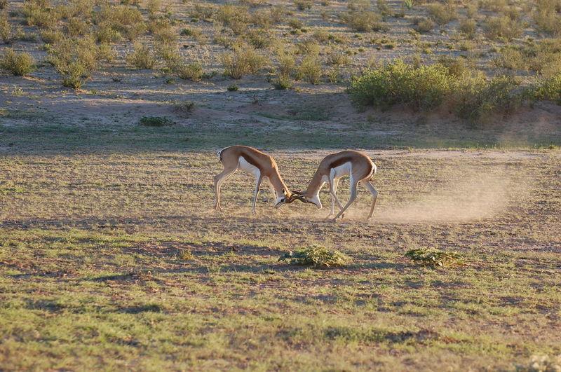 Male gazelles fighting on field