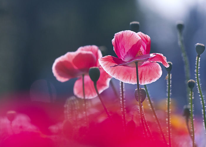 Close-up of raindrops on pink flowering plant