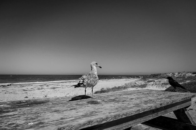 Sea Water Horizon Over Water Animals In The Wild Bird Clear Sky Beach Copy Space Wildlife Seagull Wave Nature Shore Beauty In Nature Day Monochrome Photography